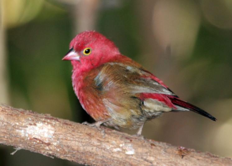 6 Red Billed Firefinch