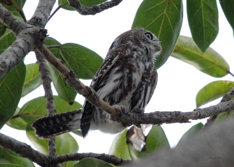 9 Pearl Owlet