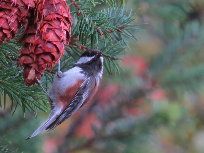 Chestnut-backed Chickadee inquiry