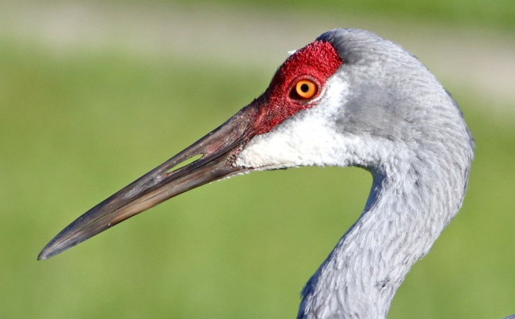 sandhill crane  5OCT 2014 D very good cropped