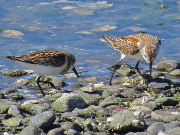 Western Sandpipers on the hunt