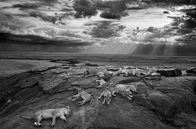 wild-lions_3080603k