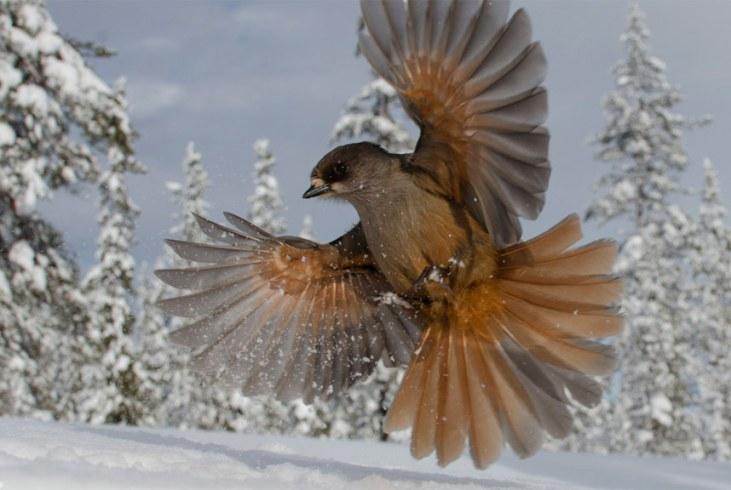 wild-snowbird_3080911k