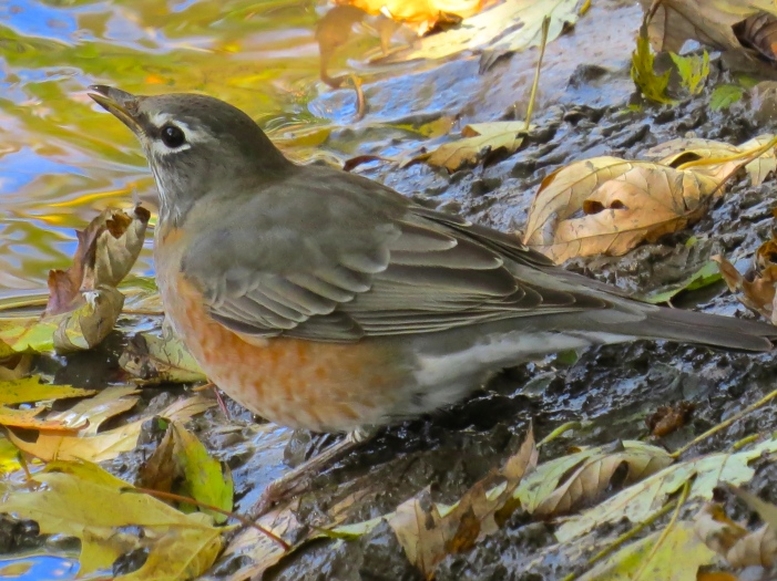 American Robin female