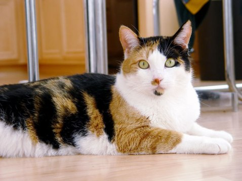 Calico_cat_-_Phoebe