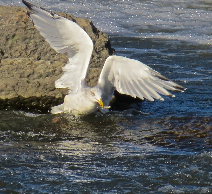 Herring Gull fishing