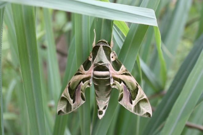 Oleander Hawk-moth Daphnis nerii