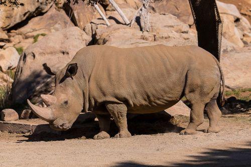 Angalifu*, a male northern white rhinoceros (Ceratotherium simum cottoni) at the SanDiego Zoo (photo by San Diego Zoo).