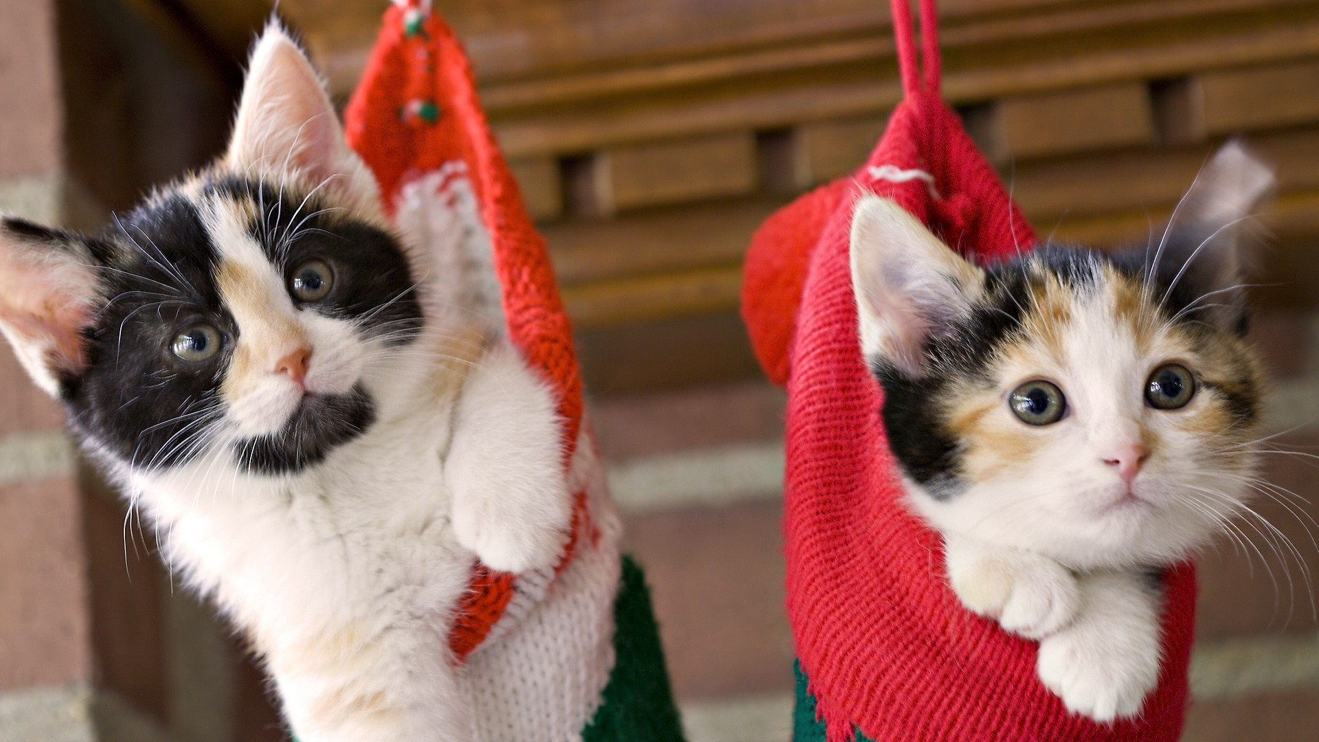 beautiful christmas cats hanging wallpaper Why Evolution Is True