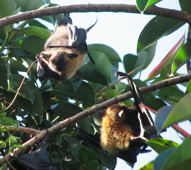 flying foxes cropped