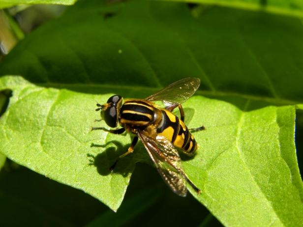 Syrphidae-6