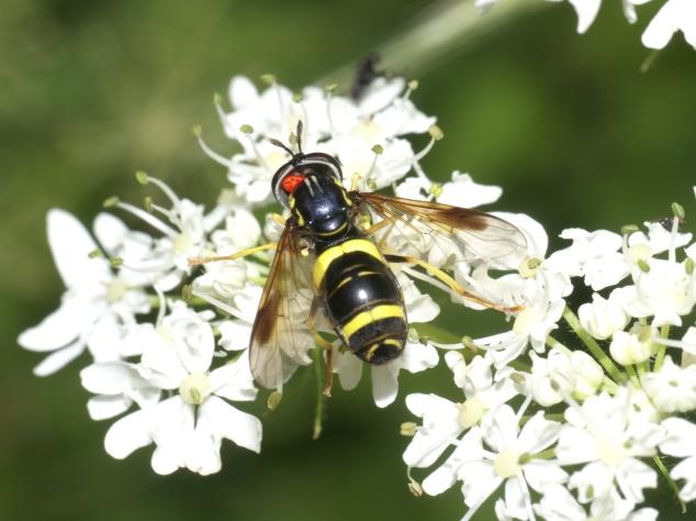 Syrphidae-8
