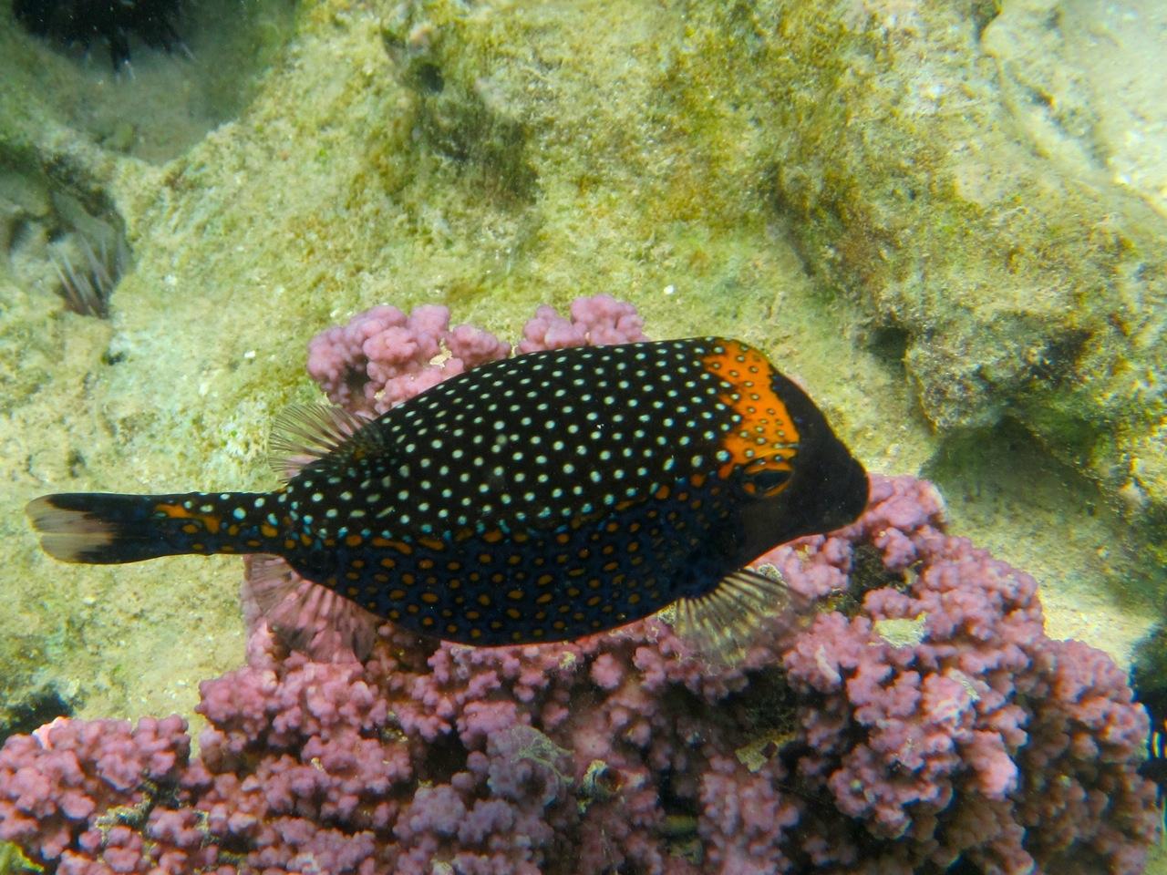 9 pufferfish why evolution is true for Blowfish vs puffer fish
