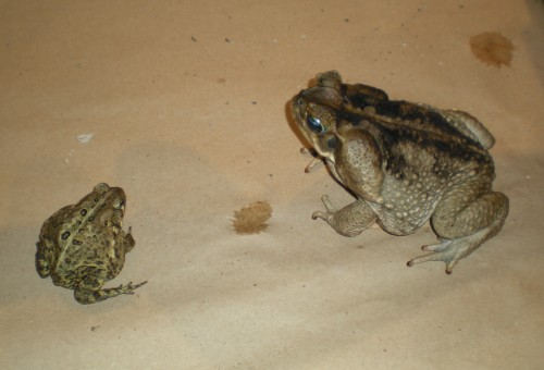 American Toad vs. Giant Toad