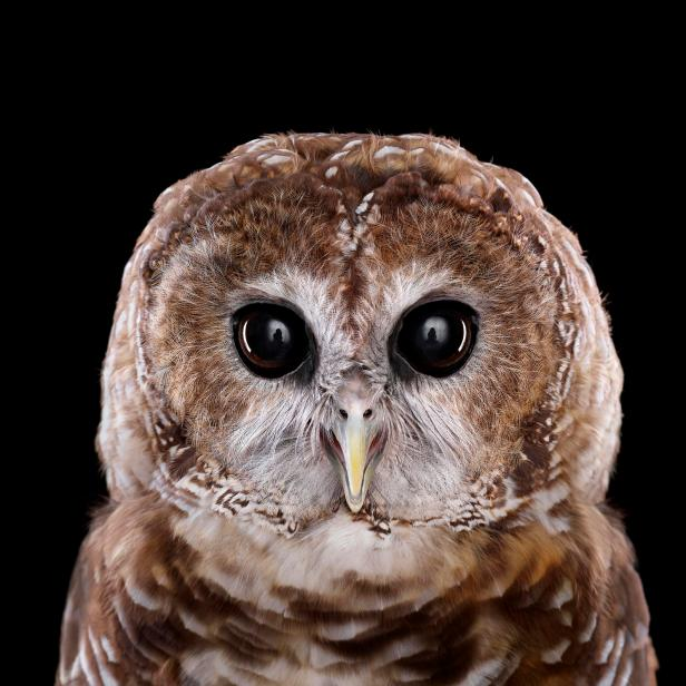 PSMexicanSpottedOwl1
