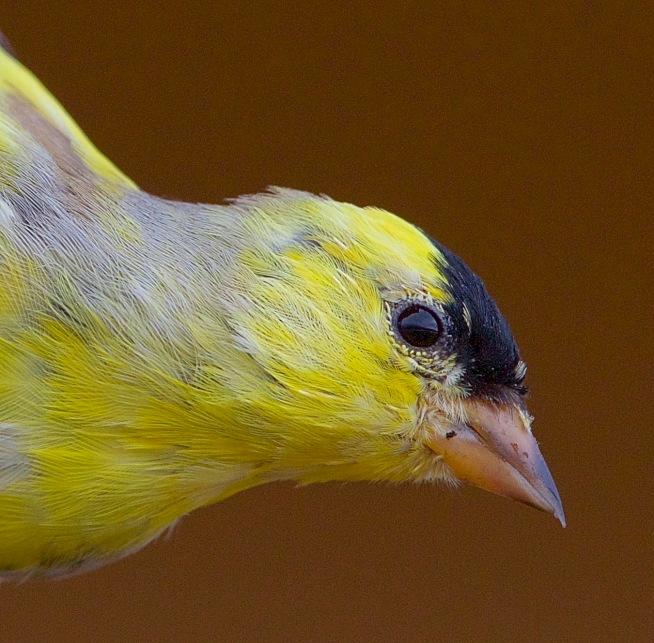 Goldfinch Mar. 23