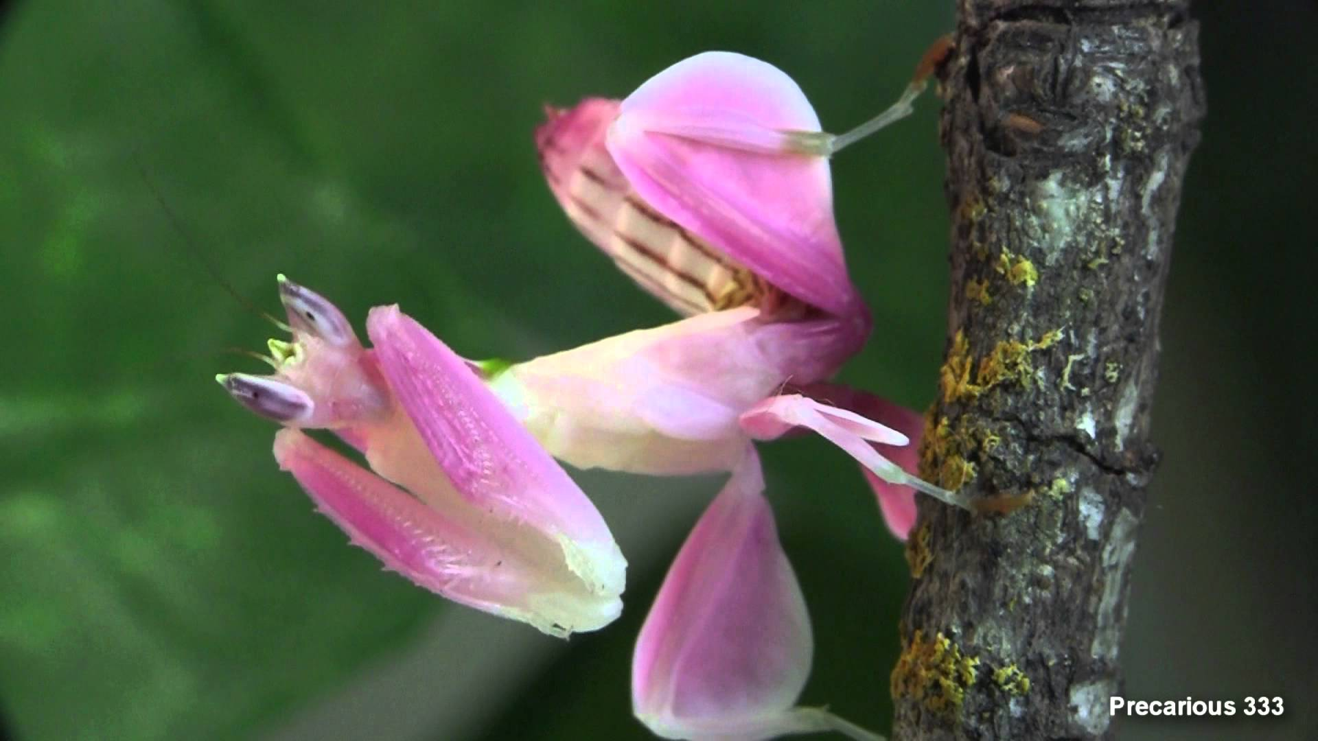 orchid mantis does it really mimic an orchid why evolution is true. Black Bedroom Furniture Sets. Home Design Ideas