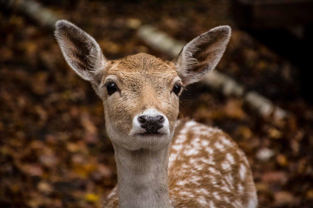 Omega Park Odocoileus Virginianus White Tailed Deer