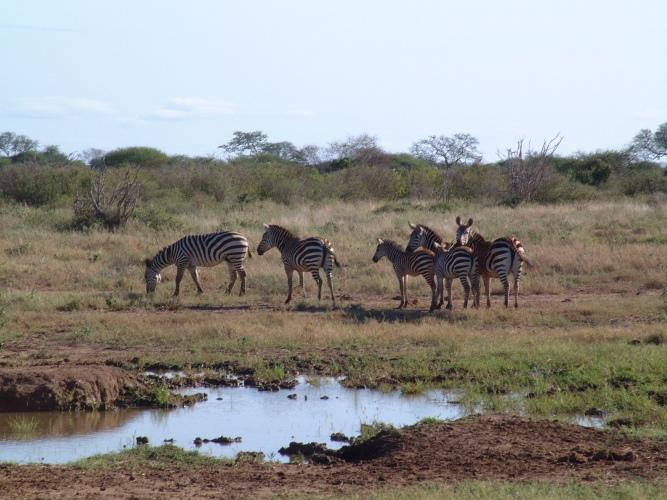 6_Zebra
