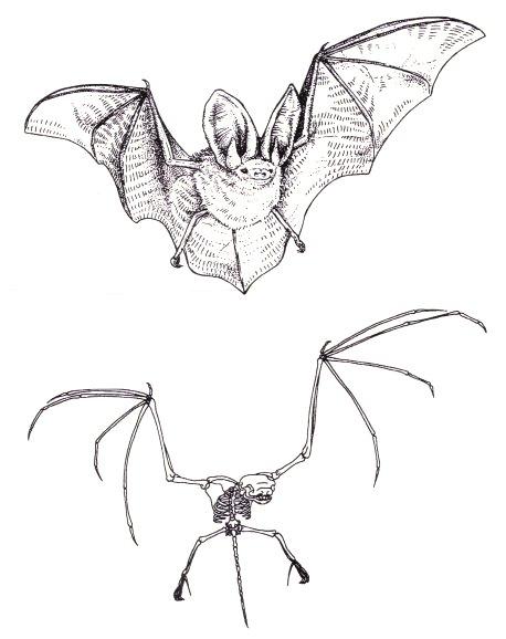 Bat wing skeleton - photo#37