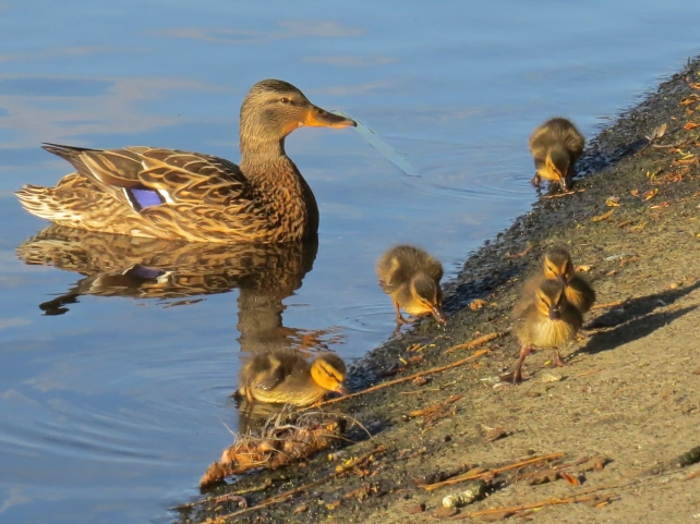Mallard ducklings and mom