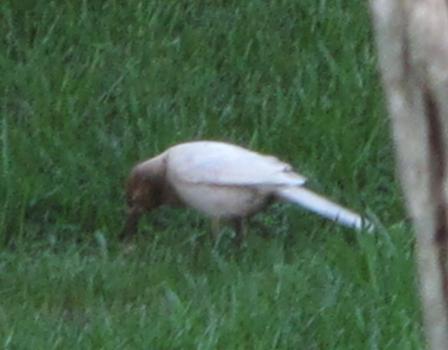 albinistic bird 2