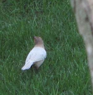 albinistic bird 4