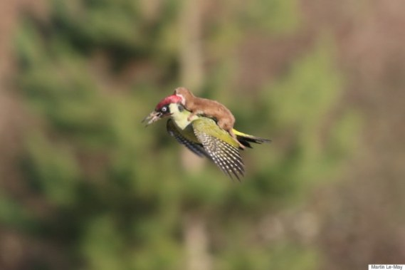 o-weasel-rides-woodpecker-900