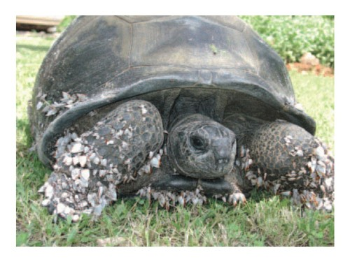 The Aldabra tortoise at Kimbiji, shortly after its discovery in December 2004. Photograph: C. Muir. Figure 1 of Gerlach et al. (2006).