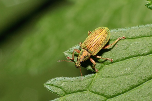 4IridescentGreenWeevil