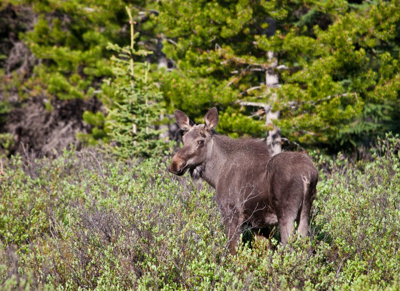 The moose (North America) or elk (Europe), Alces alces, is the largest extant species in the deer family. Moose are distinguished by the palmate antlers of the males; other members of the family have antlers with a