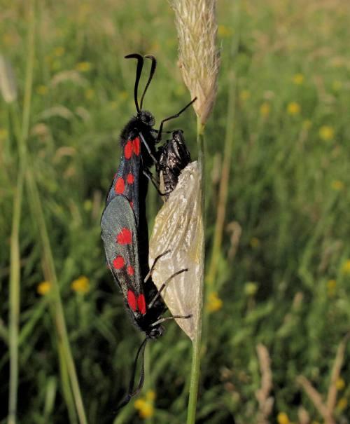 0171 Narrow-bordered Five-spot Burnet b