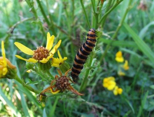2069 Cinnabar Moth larva