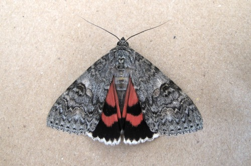 2452 red underwing