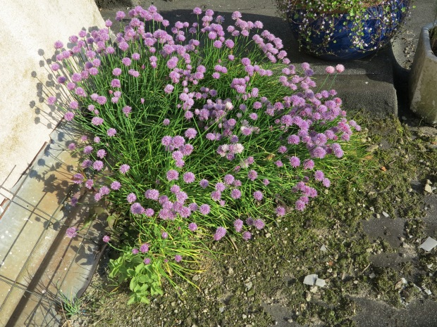Allium schoenoprasum Juni 2015 - 1