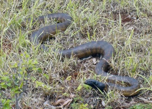 Black-headed-python