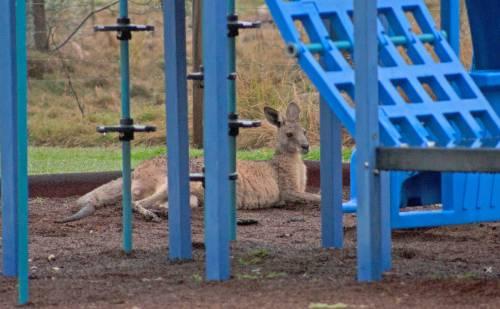 Eastern-Grey-Kangaroo