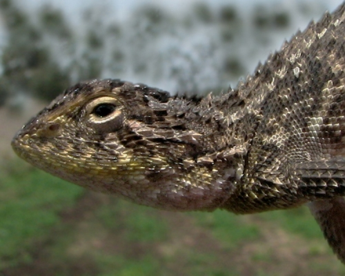 lined-earless-dragon