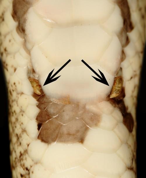 Male penis female-7219