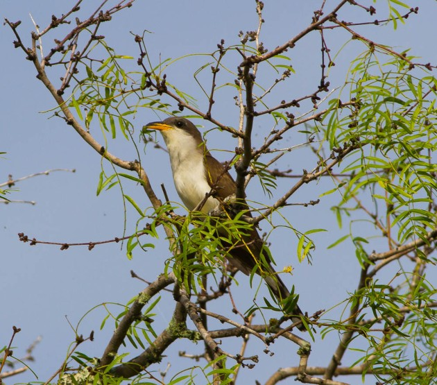 Yellow-billed Cuckoo (Coccyzus americanus)_Kingsville_2015-06-20