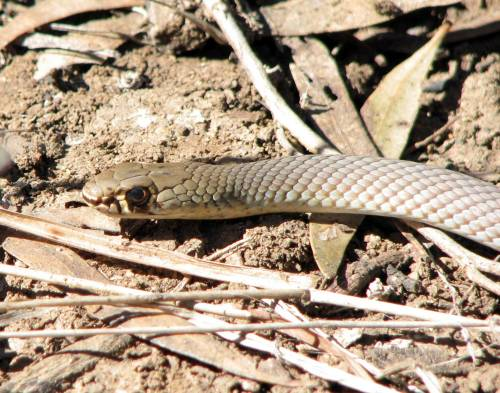 Yellow-faced-whip-snake