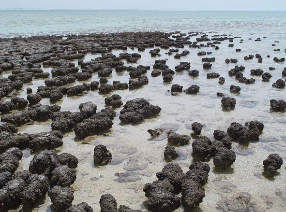 1024px-Stromatolites_in_Sharkbay