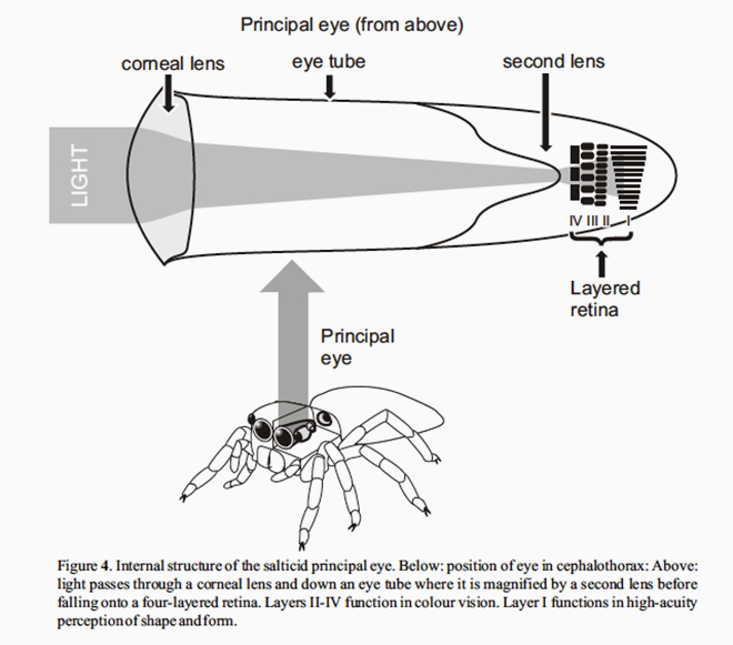 See A Jumping Spiders Eyes Move In Its Head Why Evolution Is True