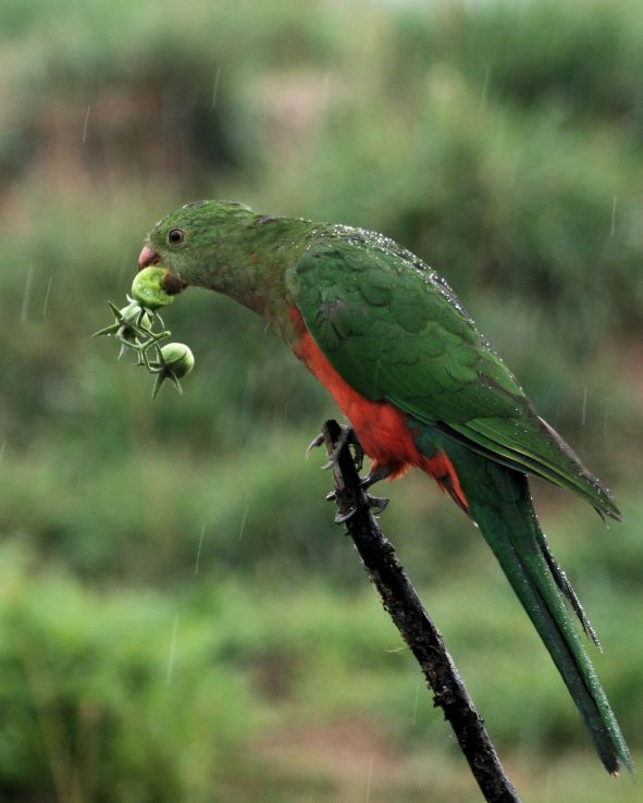 King Parrot IMG_9130 #3