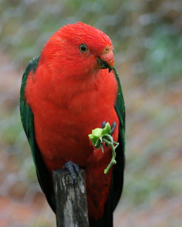 King Parrot IMG_9131 #1