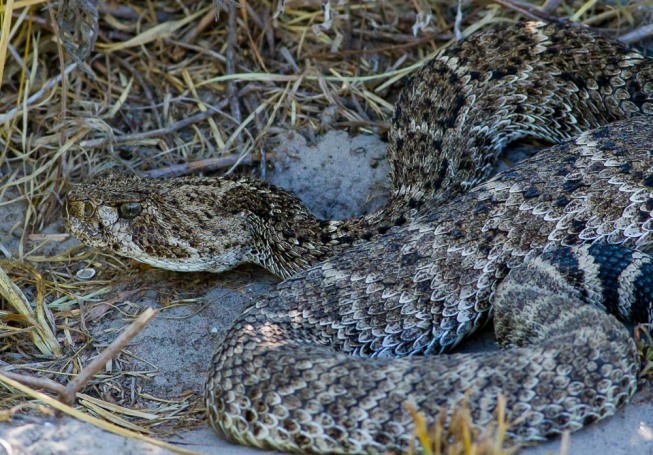 Western Diamondback Rattlesnake (Crotalus atrox)_Port Aransas_2015-08-09