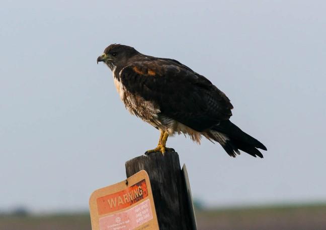 White-tailed Hawk (Geranoaetus albicaudatus)_Jim Wells Co,TX_2011-03-14