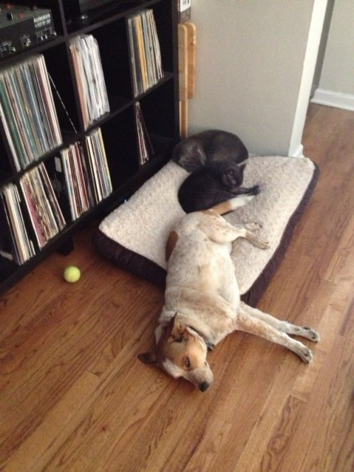 Caturday Felids Trifecta Dogs Displaced From Their Beds Moar Cat