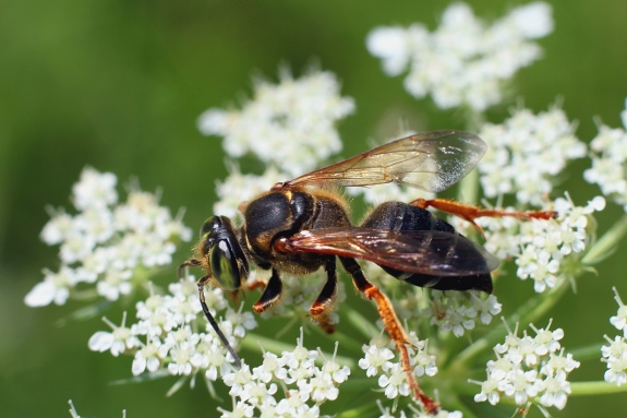 2 Square headed wasp