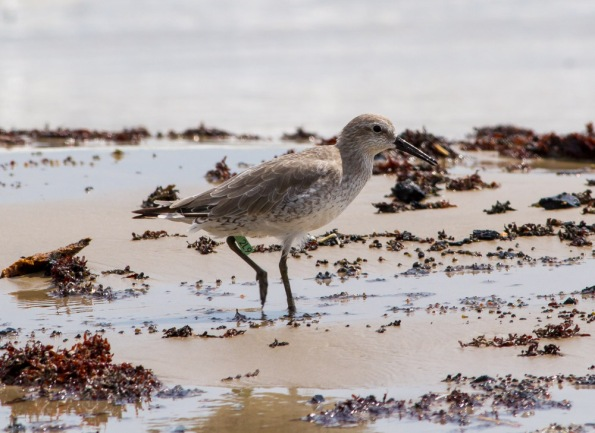 2015-09-27 Red Knot (Beach Access Road 2) 2